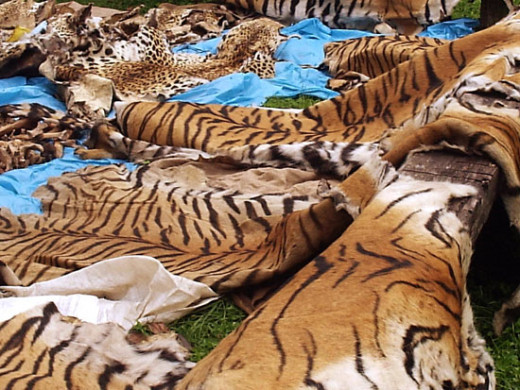 Tiger Pelts: A stuffed head tiger pelt can go for $10,000 US dollars in the black market.