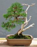 Bonsai Tree Care: How To Love Your Beloved Dwarf Tree