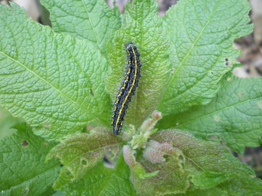 Birds love caterpillars!  This is a Joe Pye Weed that's easy to grow in your bird garden.
