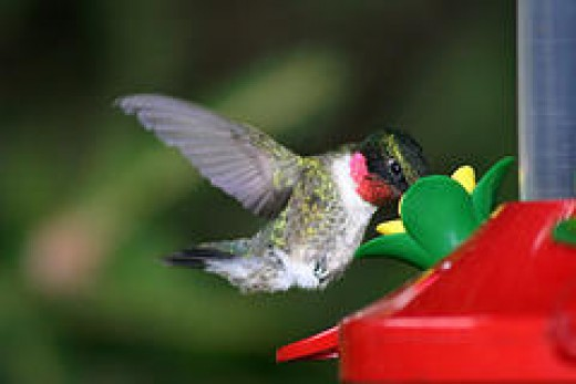 Hummers are fascinating birds to watch!