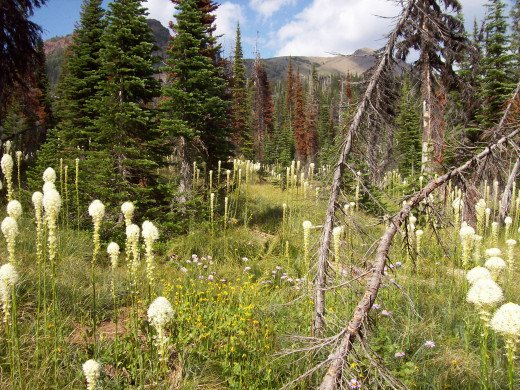 Bear Grass - Xerophyllum tenax - aka Pine Lily