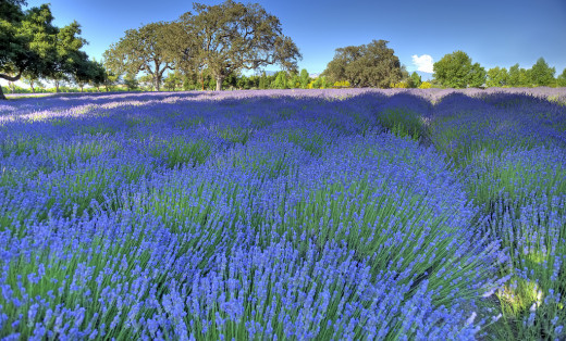 Imagine laying in this field surrounded by the soporific scent of lavender.