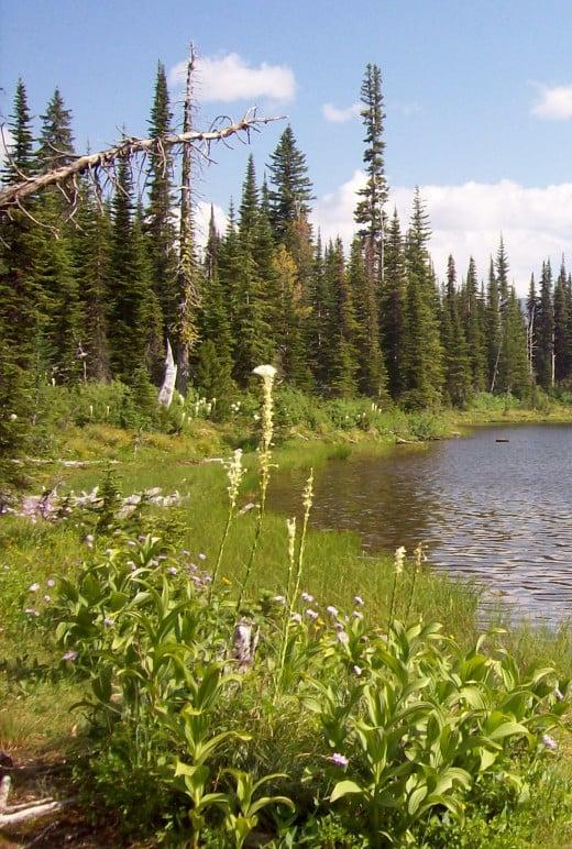 Bear Grass aka Moose Grass