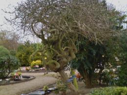 A MONKEY PUZZLE TREE.