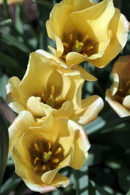 Yellow Trio - Denver Botanical Gardens