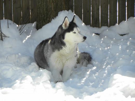 Anakin, loving the Vermont snow!