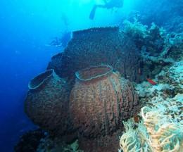 A cluster of Barrel Sponges