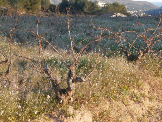 Spanish grapevines taking a winter rest