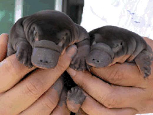 Cute Platypus Babies