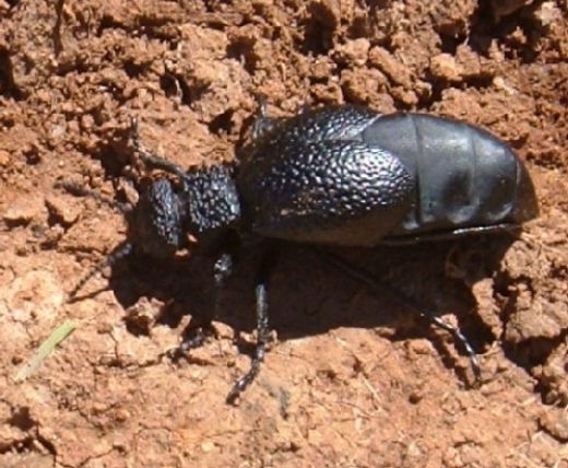 Oil Beetle (Meloe tuccius) female