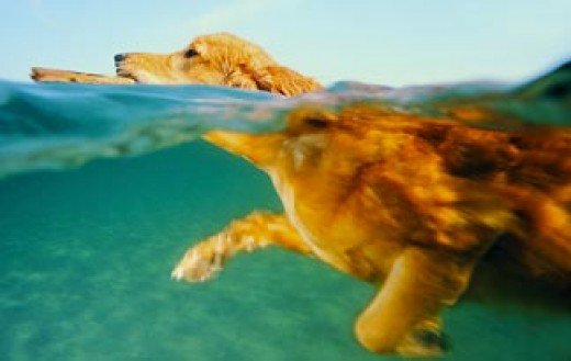 golden retriever swimming with the paws shown under water beautiful blond fur against blue water