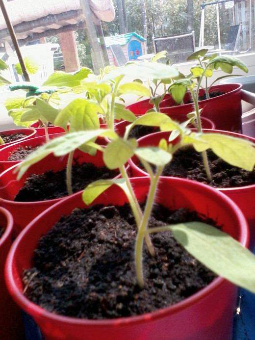 My own seedlings started from grocery store produce. Plants lasted until August and gave decent amounts of fruit.