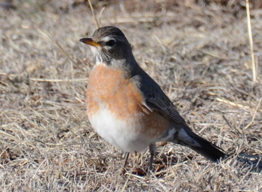 First Year American Robin