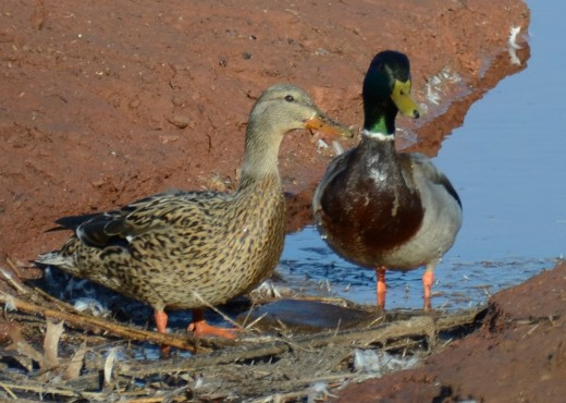 Mallard pair--male on right, female on left
