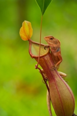 Lizard On Nepenthes