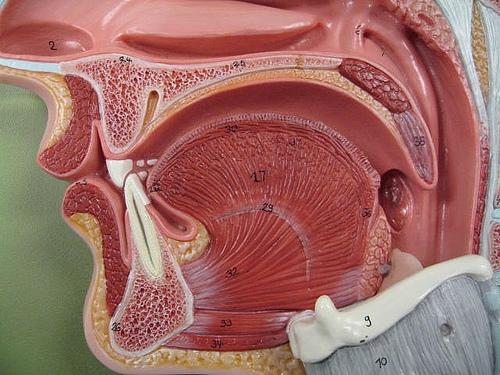 Oral/Nasal cavity