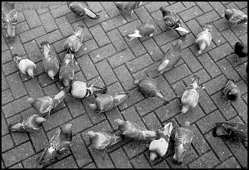 City pigeons.