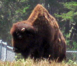 A bison in the city.
