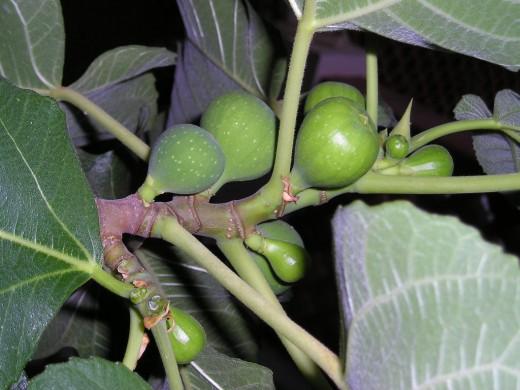 unripe figs