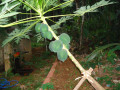One of the Papaya trees in the same plantation