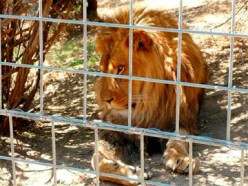 Why Do Captive Big Cats Attack their Owners?