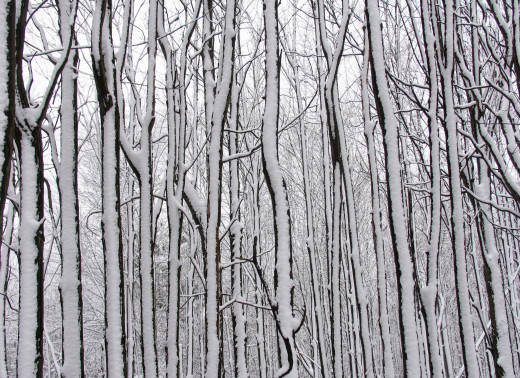 Snowy Tree Trunks and Twigs Galore