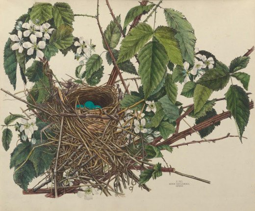 Taken from the  Illustrations of the nests and eggs of birds of Ohio {Howard Jones 1886
