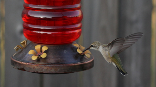 The Hummingbird beats its wings 60x a second...and the Canon 50mm Lens caught it with amazing clarity