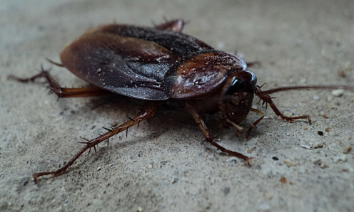 A cockroaches body and head can live for a while without each other.