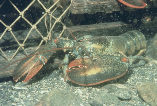 A Maine lobster.