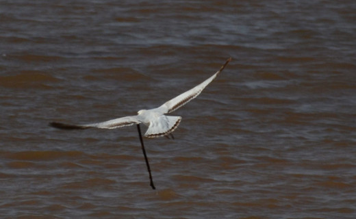 Ring-billed Gull with a stick