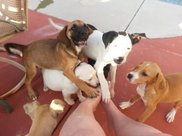 Puppies showing their appreciation by foot attacking their rescuer.