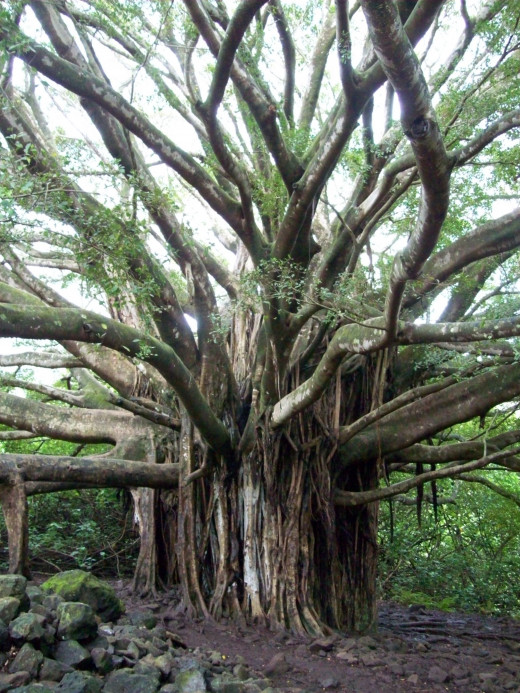 banyan tree on Maui