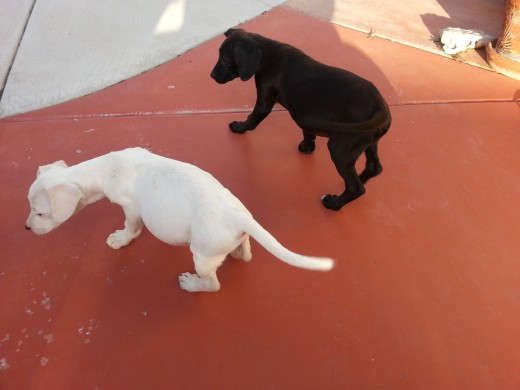 Ebony and Ivory pups outside and loving it.