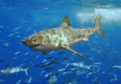 Could there be Great White Sharks around the British Isles?