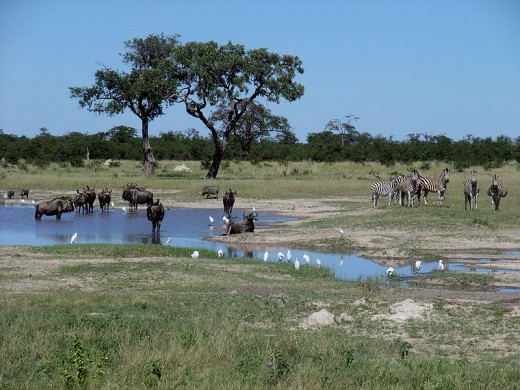 Gnus or wildbeest and Zebras in Chobe National Park