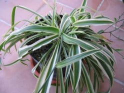 Spider plant or Ribbon plant