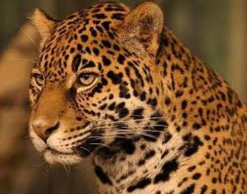 The Jaguar is one of the big cats of the wild that  is endanger of facing extinction. Seeing these beautiful animals at the zoo and in the National Geographic Explorer is so sad to know they are shrinking in numbers.