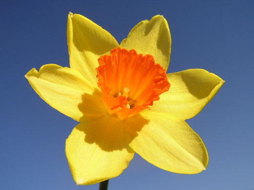 A daffodil with contrasting colors in the corona and perianth