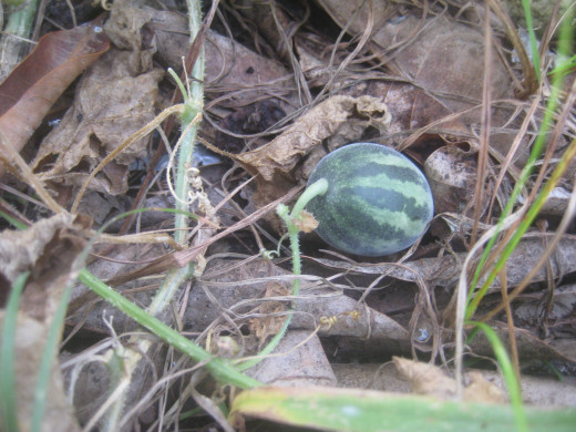 The edible  tiny, wild melon (Photo Source: Ireno Alcala)