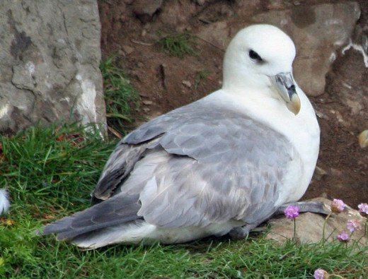 This particular fulmar has elected to nest in an unusually accessible place.