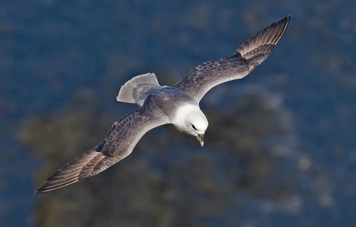 A Northern fulmar in full and glorious flight.