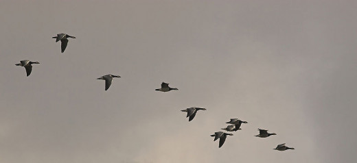 Flying in a V-shaped formation allows migrating geese to save energy and communicate about orientation cues. Barnacle geese migrate seasonally between the high Arctic and more southerly latitudes.
