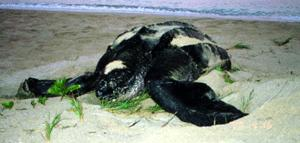 The females pull themselves onto gently sloping, sandy, tropical beaches to lay their eggs above the high tide line. Most species of turtle return to the beach of their birth and the leatherback is no exception.