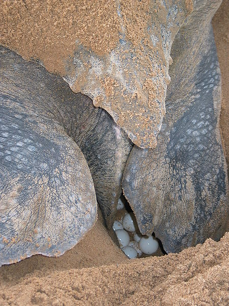 Female leatherback turtles lay an average of 110 eggs per clutch in a hole in soft sand that they dig with their flippers. The young hatch after 60 to 70 days and rush headlong to the sea.