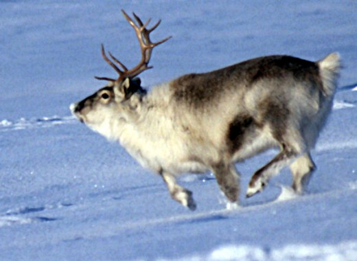 Caribou are able to run and walk on snow because their broad hooves act like snowshoes, which also help them to dig beneath it to reach food such as lichen and other vegetation.