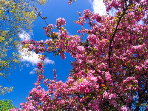 Flowering crabapple trees bring delicate beauty to the grounds at Hidden Lake Gardens each spring.