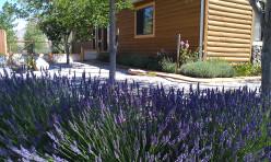 Growing Lavender in the Nevada Desert