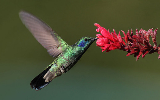 Some flowers rely on hummingbirds for pollination, while some hummingbirds rely on specific flowers for nectar. They have co-evolved in terms of shape and colour to accommodate each other's survival.