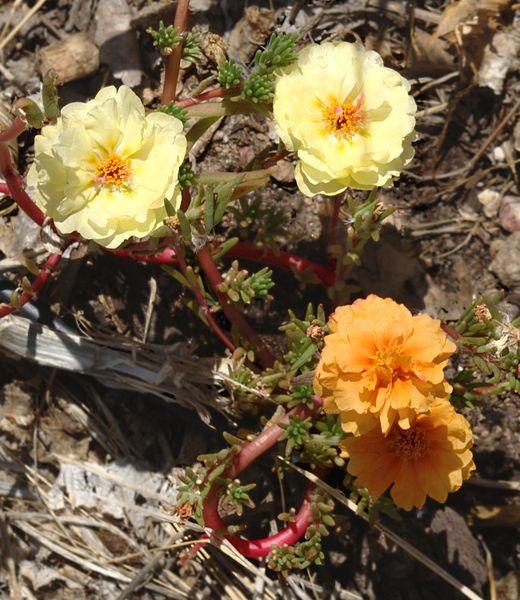 A chance mutation has caused this moss rose to produce flowers of a different colour to the others. It's possible that, over time the new colour may become dominant.